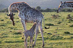 7_M_-_Giraffenbaby